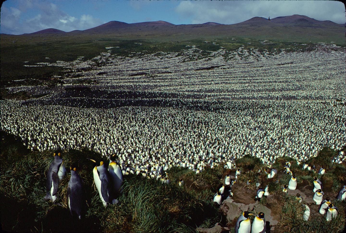 The colony of king penguins on Île aux Cochons in 1892, in the southern Indian Ocean.