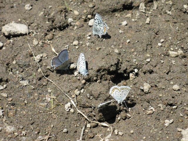 Blue Butterflies puddling at the Carson Gap Pond, exiting Lake Tahoe Basin.