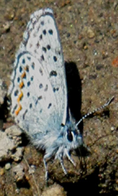 Blue Butterfly along the Pacific Crest and Tahoe to Yosemite Trails.