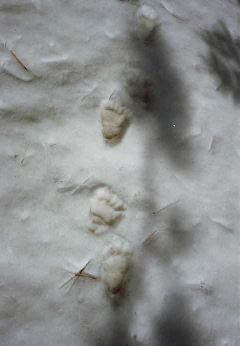 Bear Tracks standing above snow level, East Fork of the Carson River.