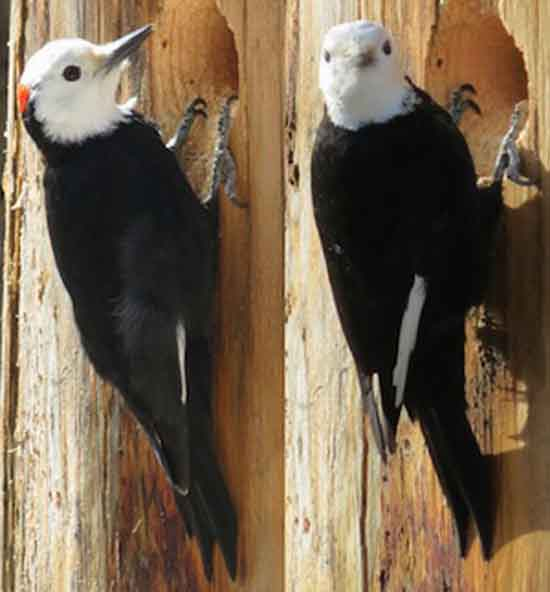 White headed Woodpecker parents. Red spot marks male.