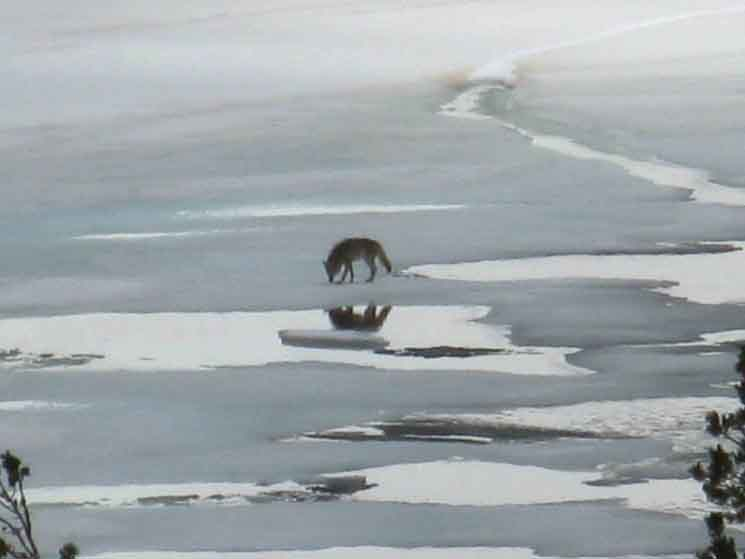 Coyote sniffing about on frozen surface of Round Top Lake, Carson Pass Management Area.