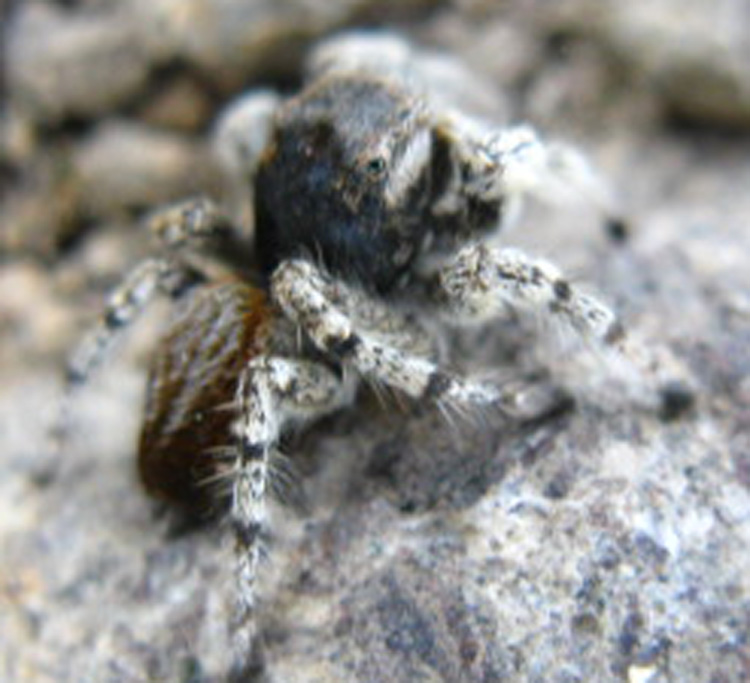 Jumping spider at 10,000 feet on Big Sam, Emigrant Wilderness, blends in with granite terrain.