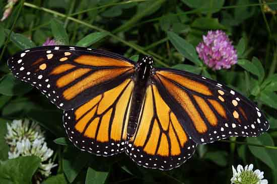 Monarch butterfly by Kenneth Dwain Harrelson, wiki.