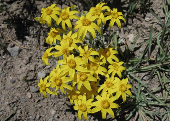 Sierra Arnica ? Murray Canyon, Carson Iceberg Wilderness.