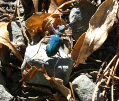 Royal Blue Beetle below Dicks Pass, Desolation Wilderness.