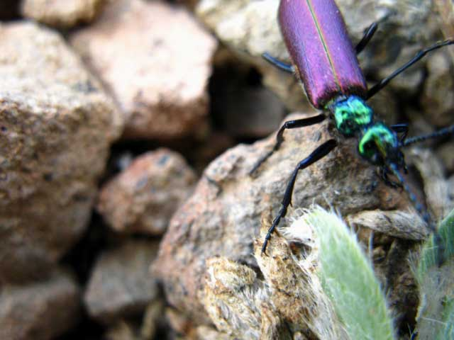 Beautifuld fluorescent Purple Beetle on South flank of Big Sam, Emigrant Wilderness.
