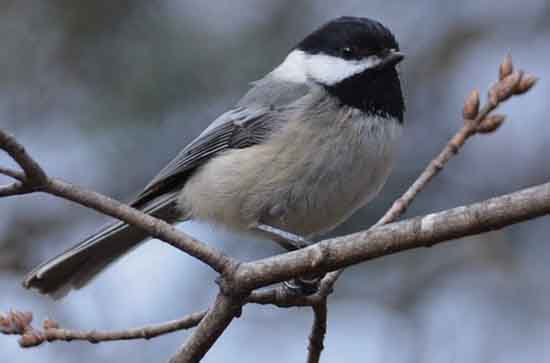 Black-Capped Chickadee, kriswaid, pixabay.
