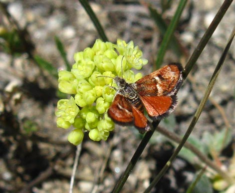 Butterfly near Bond Pass, burnt orange color, Emigrant Wilderness, Stanislaus National Forest.