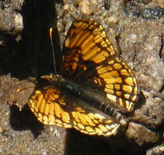 Butterfly on Moraine Ridge above Hetch Hetchy, Yosemite Wildlife for Hikers.