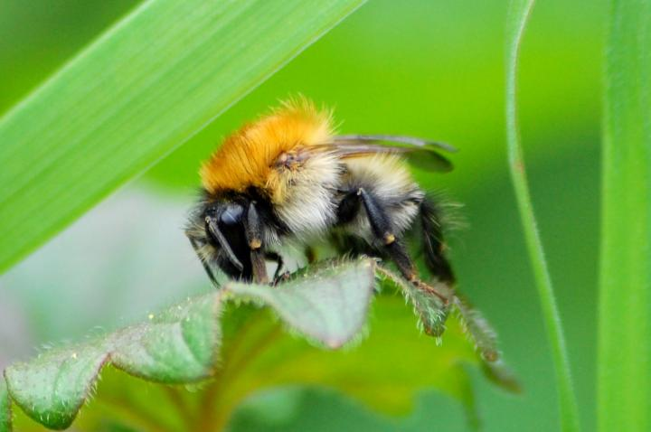 Carder Bee in UK, by Richard Comont.