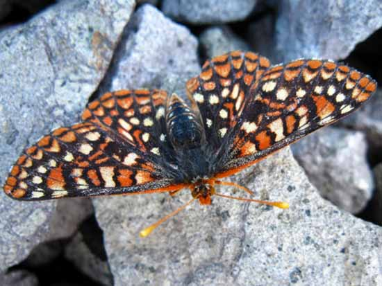 Common Checkerspot butterfly at 10,000 feet, Big Sam, backpacking Emigrant Wilderness.