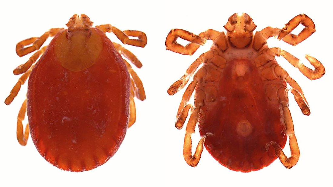 Asian Longhorned tick, Penn State Extension