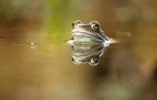 England's Common frog (Rana temporaria), Greg Hitchock, Zoological Society of London.