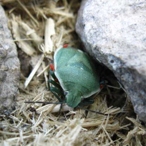 Green beetle on Big Sam hiking Emigrant Wilderness,