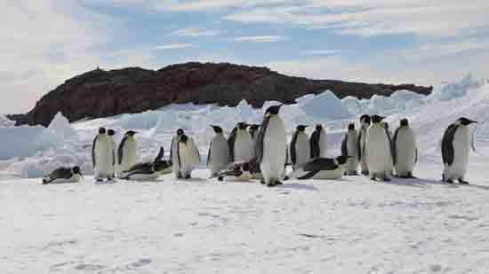 Emperor Penguins under Climate Extinction Threat, Stephanie Jenouvrier, Woods Hole Oceanographic Institution.