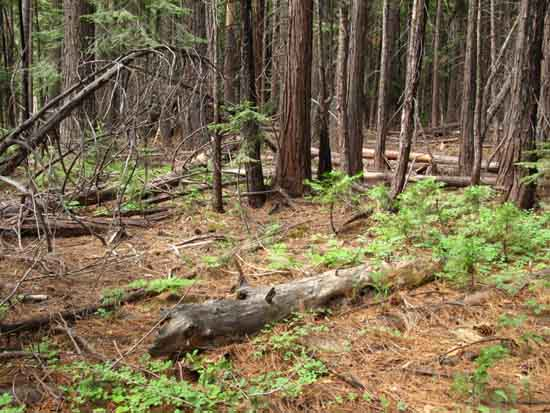 "Unmaintained/no trail across the ""Enchanted Forest"" North of Camp Irene."