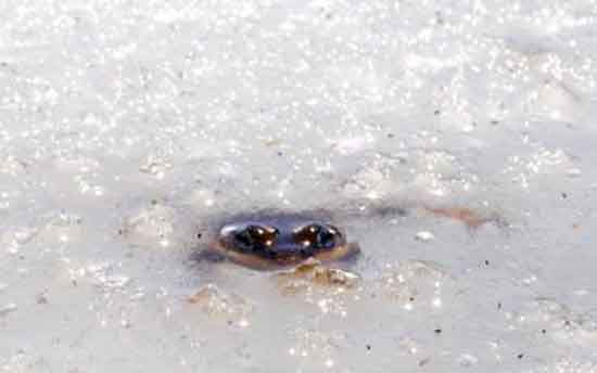 The mountain-dwelling Cascades frog thrives in extreme climatic conditions. SFU, Simon Fraser University.