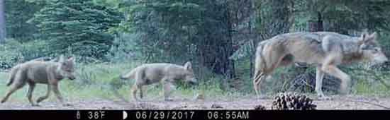 Wolves Moving into Northern California. Lassen Pack 6, remote trail camera, June 29, 2017, CDFG.
