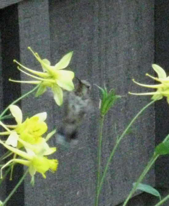 Hummingbird working a Sierra Columbine at Kennedy Meadows Pack Station.