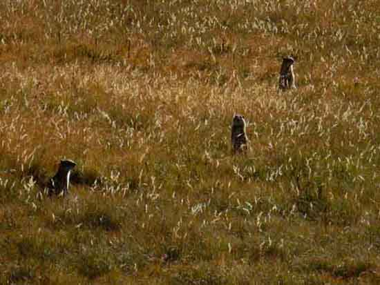 Belden Ground Squirrels in Cold Canyon, Yosemite National Park.