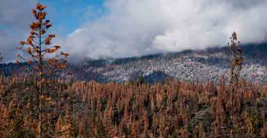 Dying Sierra Trees, from UC Merced, can they survive another drought?