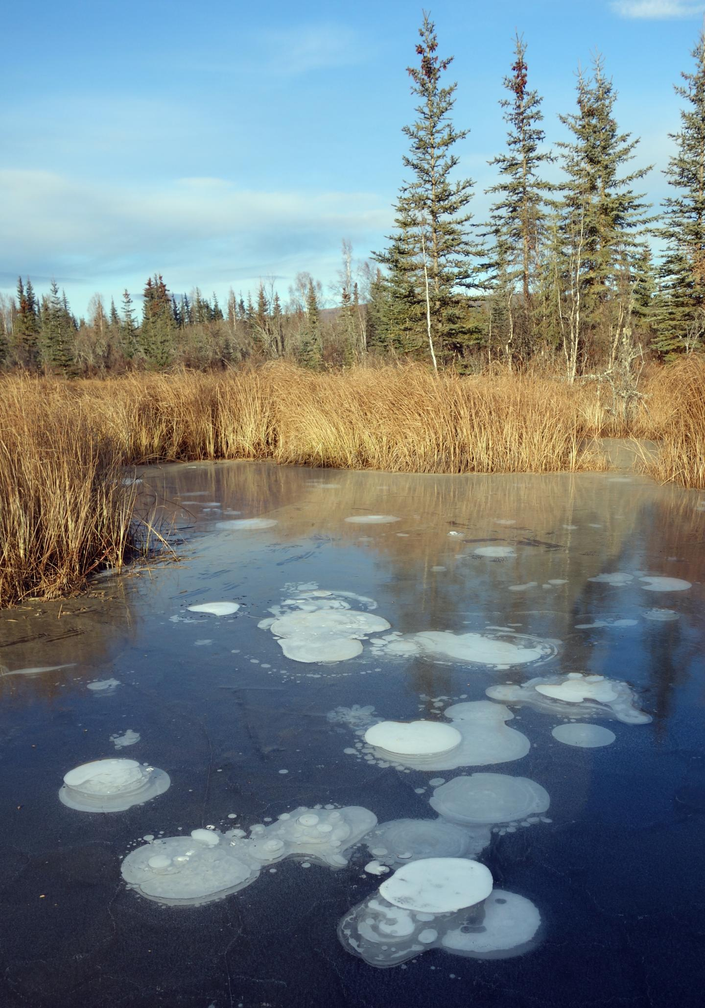 Methane bubbles trapped in the ice on a pond near Fairbanks, Alaska.