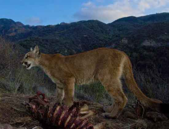 A mountain lion at a mule deer kill in the Santa Monica Mountains, National Park Service.