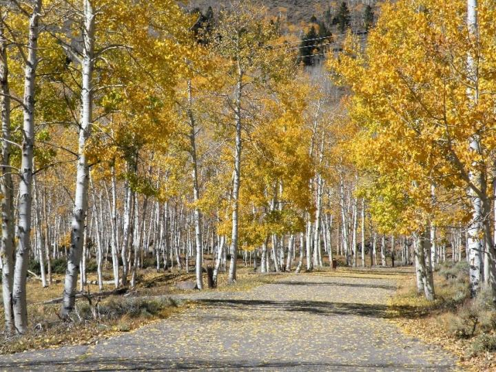 Pando Grove in fall foliage at Dr. Creek Campground, Utah, image by Paul C. Rogers.