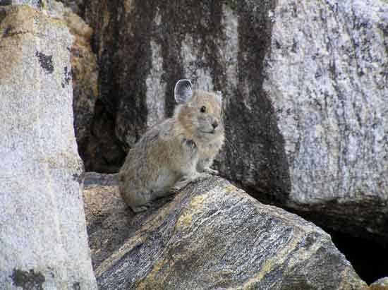 American Pika, Ecological Society of America, Photo credit to, courtesy of, Shana Weber.