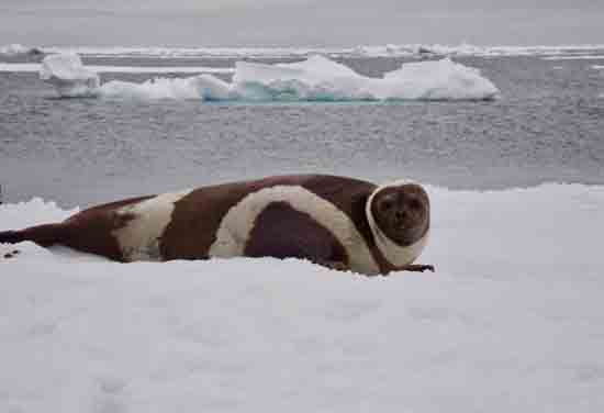 An adult male ribbon seal lays on the ice, NOAA Fisheries, Polar Ecosystems Program.