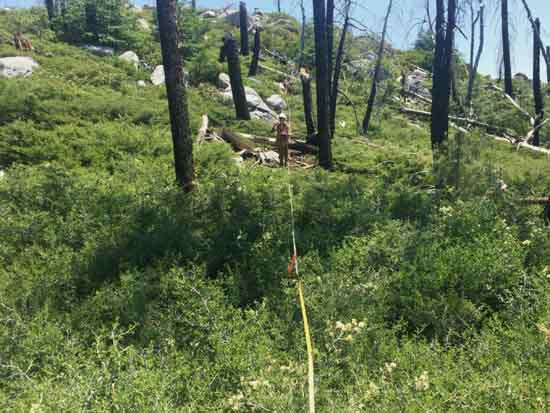 Investigating plant diversity within a transect line of a Sierra Nevada forest affected by drought and wildfire, Courtesy Clark Richter.