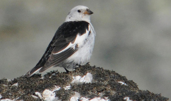 Snow bunting, a mountain-specialist whose population has declined, by Aleksi Lehikoinen of University of Helsinki.