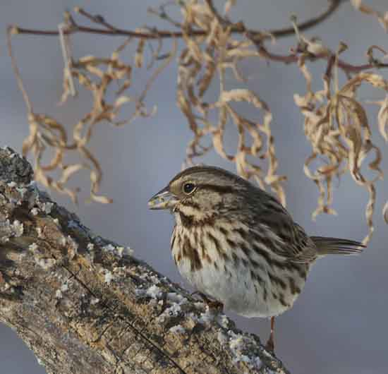 Song Sparrow, Jennifer Taggart, courtesy Cornell Lab of Ornithology.