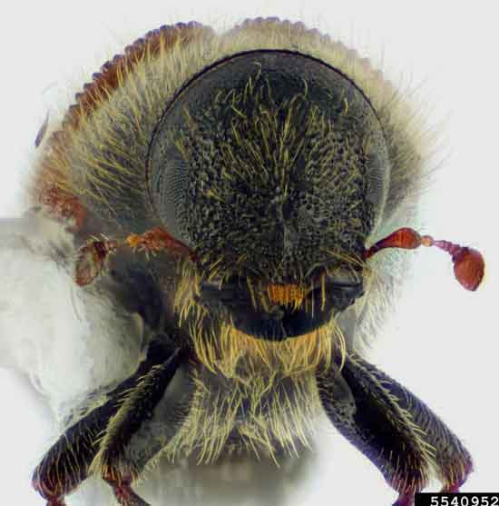The Head of a Spruce Beetle (Dendroctonus rufipennis), Joseph Benzel, Colorado State University.