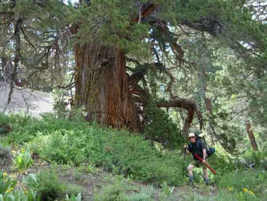 Steve at base of giant juniper tree in Noble Canyon.
