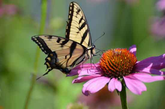 Swallowtail on flower, Oregon State University, Rob Liptak, Ohio Lepidopterists.