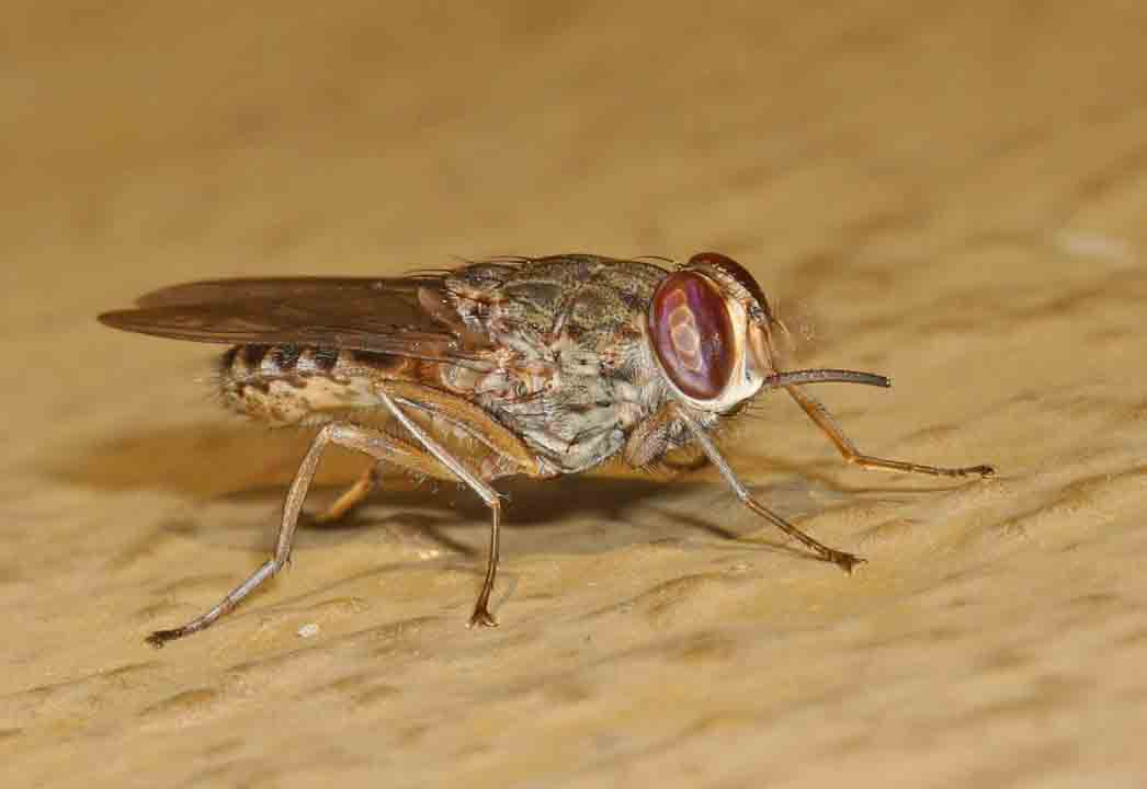 Bloodsucking insects that cause sleeping sickness in humans. Photo by Judy Gallagher.