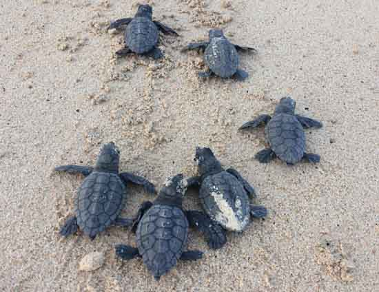 Loggerhead turtles in Cape Verde, University of Exeter, Lucy Hawkes.