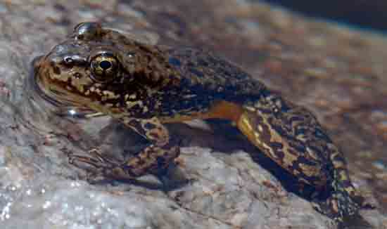 High Sierra Yellow Legged Frog, by Roland Knapp.